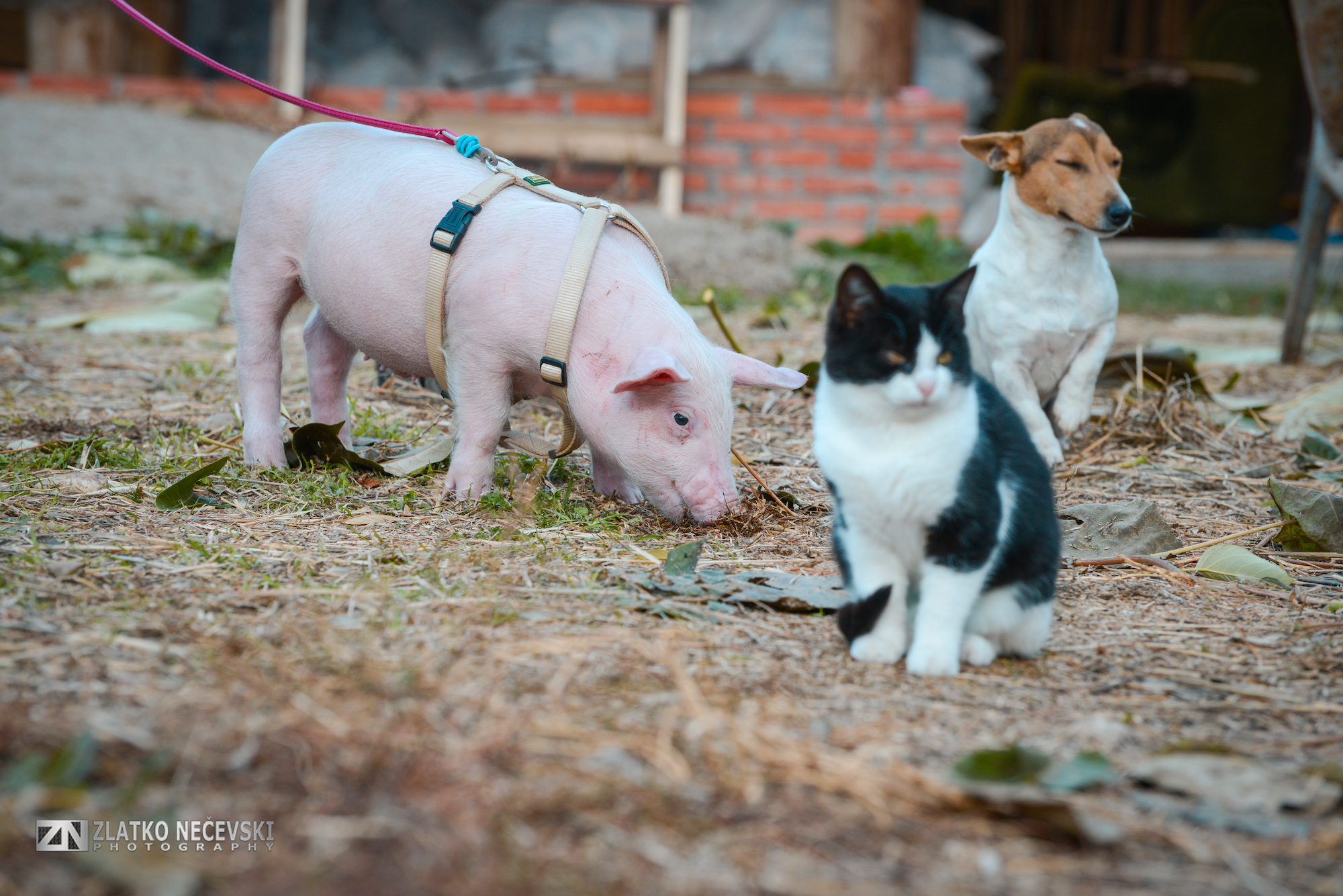 Piglet with a cat and dog